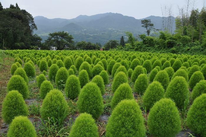 新緑のほうき草